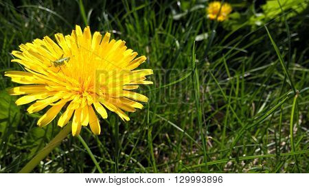 Dandelion with a grasshopper on it in grass