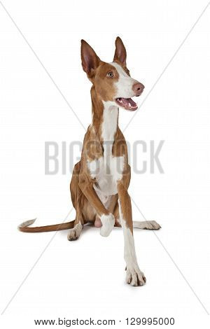 Podenco ibicenco (Ibizan Hound) dog sitting in front of white background and looking to the side