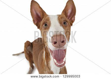 Portrait of purebred Podenco ibicenco (Ibizan Hound) dog against white background