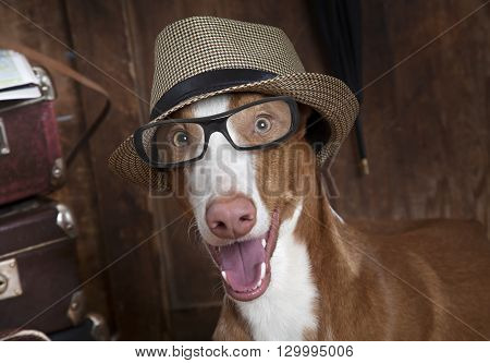 One year old purebred Podenco ibicenco (Ibizan Hound) dog with glasses and hat indoors.