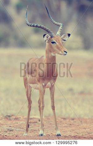 Impala on savanna in National park of Africa, Kenya