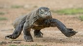 Постер, плакат: Attack Of A Komodo Dragon The Dragon Running On Sand The Running Komodo Dragon Varanus Komodoens