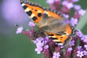 image of heliotrope  - butterfly urticaria sits on a purple flower heliotrope - JPG