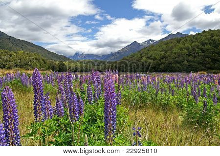 Lupines In Full Bloom, Eglinton, New Zealand