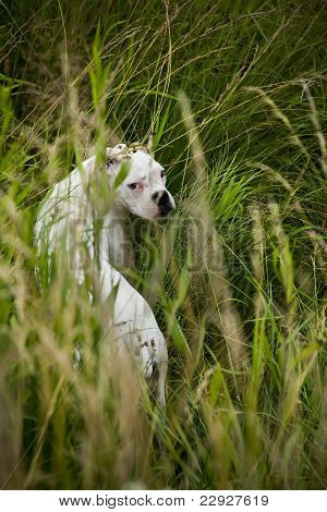 Boxer dog in the weeds