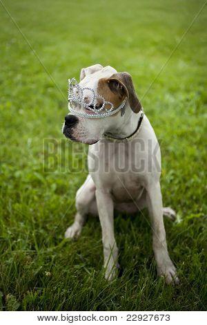 Boxer Puppy wearing tiara