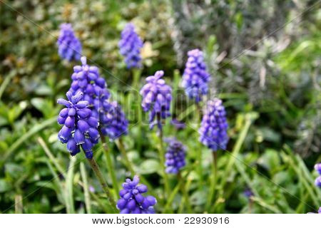Multiple blue grape hyacint