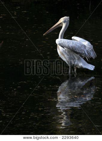 Young Pelican