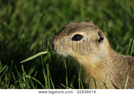 Gopher eating grass