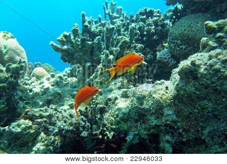 Two Red Coral Perches