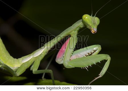 Cute but formidable, Praying Mantis