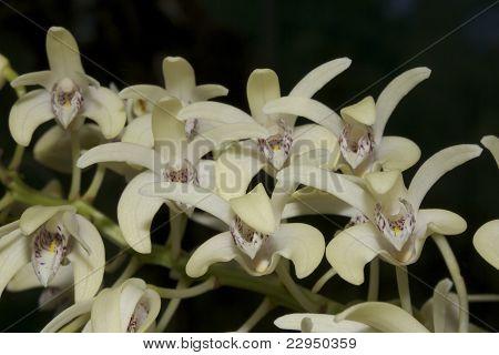 Dendrobium speciosum (Orchid)