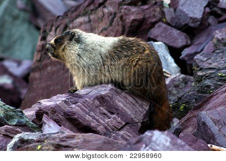 Hoary Marmot (Marmota caligata)