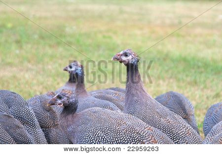 Flock of Three Month Old Guinea Fowl Keets