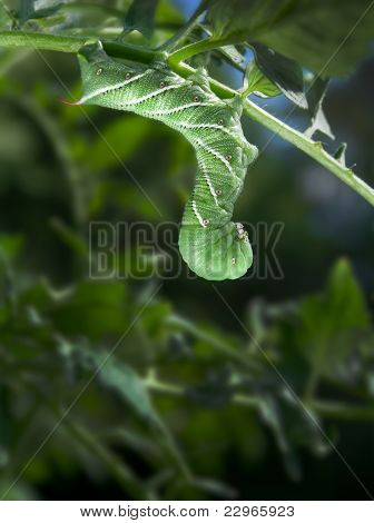 Tobacco Hornworm (Manduca Sexta) on a Tomato Plant
