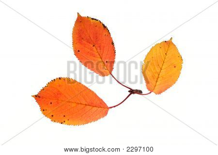 Three Autumn Leaves