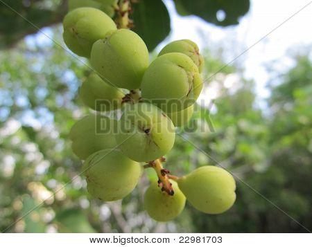 Sea Grapes