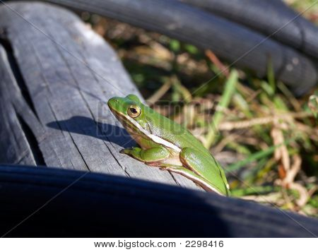 Tree Frog In The Sun