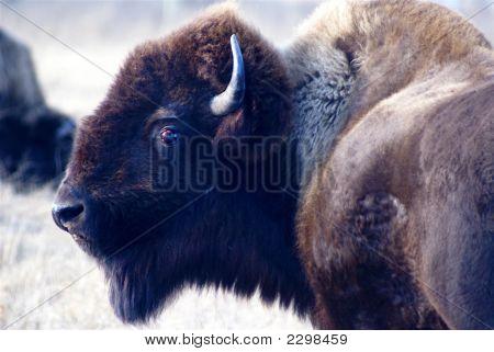 Head Of Buffalox
