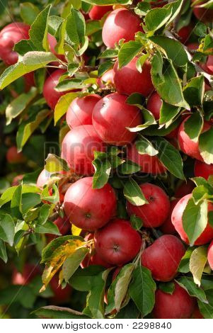 A Closeup Of An Apple Tree With A Cluster Of Apples