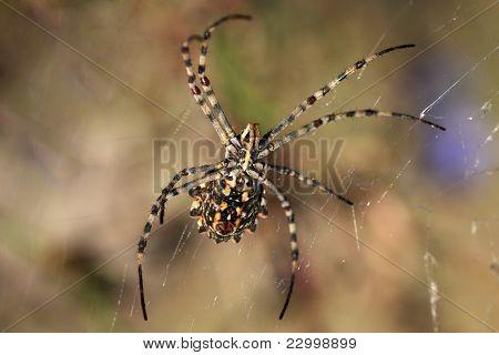 spider (Argiope lobata)