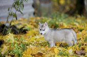 Cute Siberian Puppy On Grass In Yellow Leaves, Looking At Camera. Age 3 Months poster