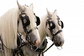 stock photo of shire horse  - Pair of Shire Horses pulling a carriage  - JPG
