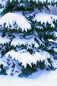 Fur-tree Branch Covered With Snow. Christmas Tree In Snow In Winter Forest. Fairy-tale Beautiful Tre poster