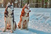 Siberian Huskies Working Dog. Husky Dog Sit On Snow In Winter Forest And Watch Attentively. Copy Spa poster