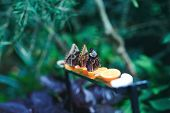 Beautiful Butterflies Eating Lemon On The Garden Table. Amazing Picture With Pretty Butterflies Sitt poster
