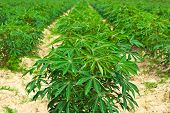 picture of cassava  - Cassava tree row in farmland  - JPG