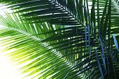 Coconut Palm Tree Leaf Photo. Coco Leaf Silhouette Closeup. Abstract Coco Palm Leaf Background. Gree poster