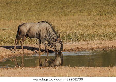 Bluewildebeest drinking