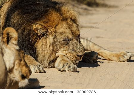 Lion resting in road