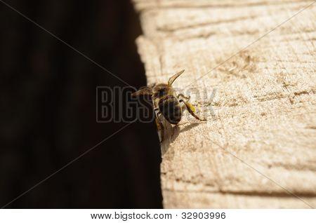 lonesome bee