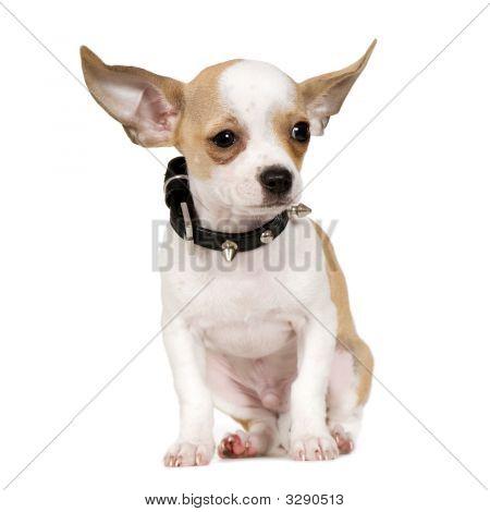 Chihuahua (3 meses)