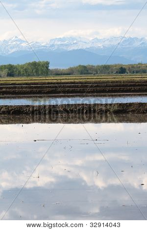 Reflections In A Rice Crop