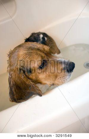 Beagle Dog In The Bathtub