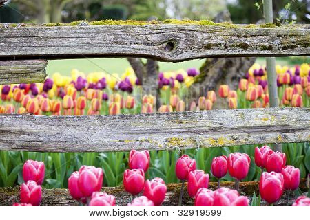 Tulips And Rustic Wooden Horizontal Fence Beam