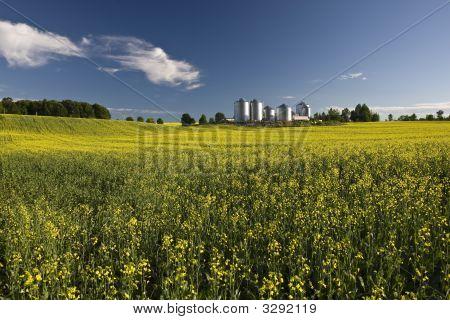 Canola Farm