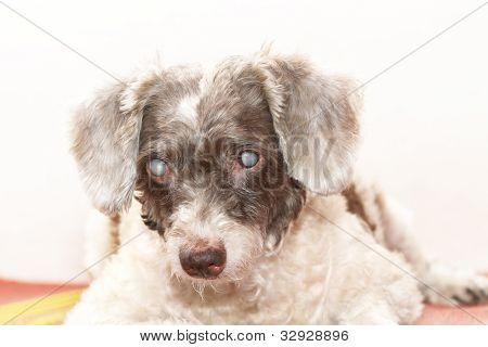 Dog With Cataract Eyes