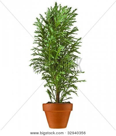 Decorative Conifer Sapling Tree in a pot Isolated on a white