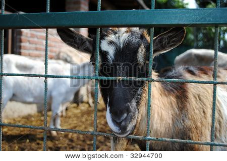 sheep in a cowshed concept of captivity