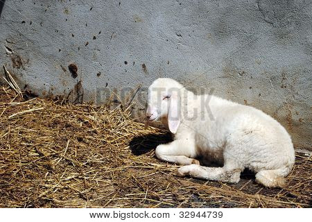 white sheep in a cowshed concept of captivity