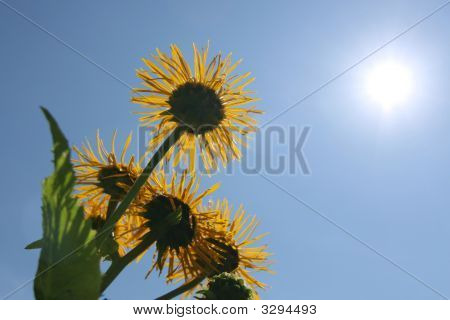 Flowers And Sun