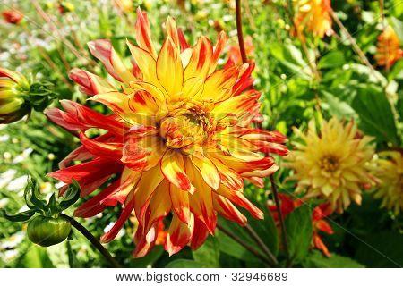 Beautiful dalia, dahlia close up flower in the garden
