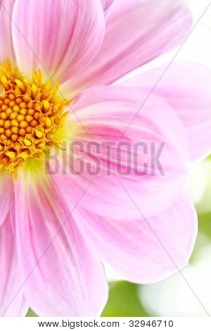 Beautiful light pink Dalia, Dahlia
