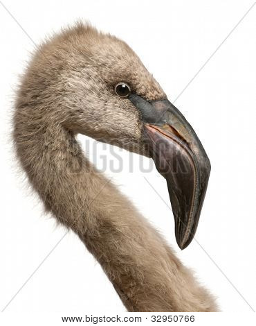 Close up of Chilean Flamingo, Phoenicopterus chilensis, 5 months old in front of white background