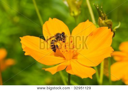 A Bee Collects Nectar From Cosmos Flower