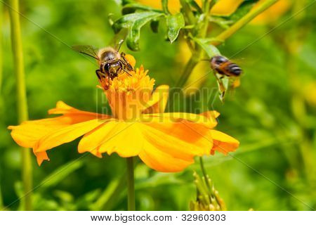 Bees Collect Nectar From Cosmos Flower